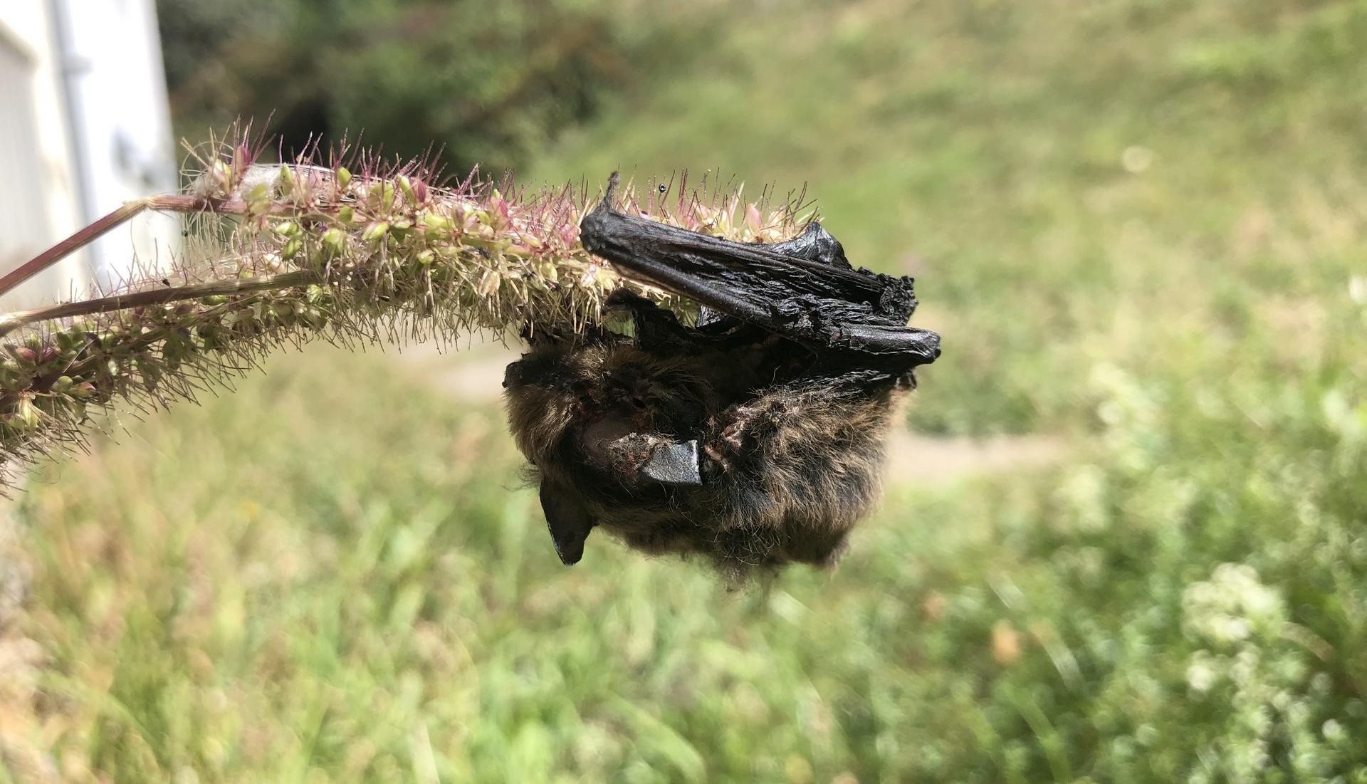 Pipistrelle observée à Besançon (25). Après s'être posée sur cette plante (probablement du genre Setaria) elle est restée accrochée au petits crochets présents sur ses graines et n'a pas pu s'en libérer. Ce piège naturel a entraîné sa mort. © CPEPESC-FC
